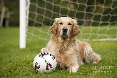 Goalkeeper Photograph - Golden Retriever Dog by John Daniels