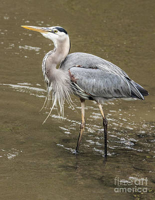 Photograph - Great Blue Heron by Jeannette Hunt