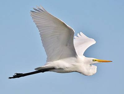 Great White Egret In Flight Art Print by Paulette Thomas