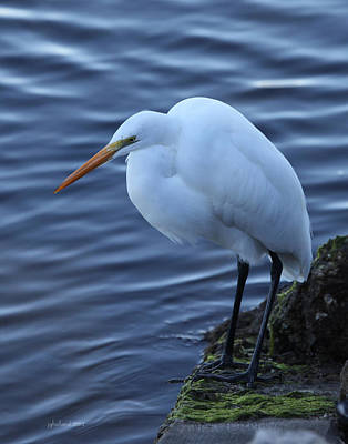 Photograph - Great White Egret by Joseph G Holland