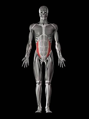 Human Abdominal Muscles Art Print by Sebastian Kaulitzki
