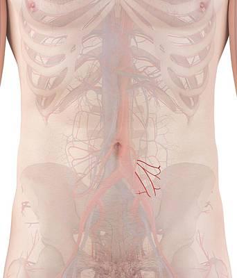 Human Arteries Art Print by Sciepro