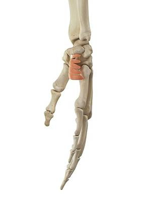 Human Hand Anatomy Art Print