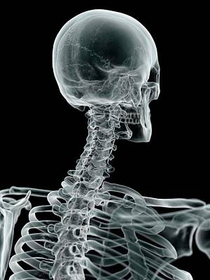 Human Skull Photograph - Human Skull And Neck by Sciepro