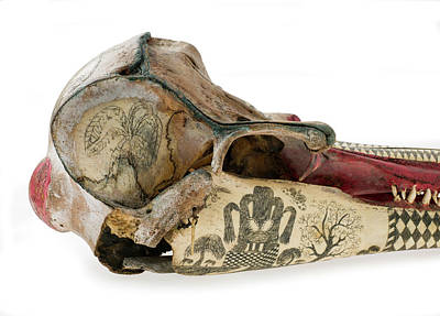 Scrimshaw Photograph - Ink Scrimshaw On Dolphin Skull by Natural History Museum, London