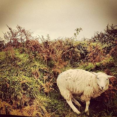 Sheep Photograph - Instagram Photo by Nia Richards