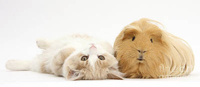 House Pet Photograph - Kitten And Guinea Pig by Mark Taylor