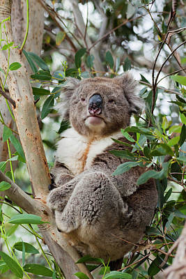 Koala Photograph - Koala (phascolarctos Cinereus by Martin Zwick