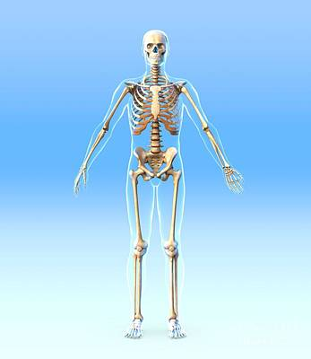 Biomechanics Photograph - Male Skeleton, Artwork by Roger Harris