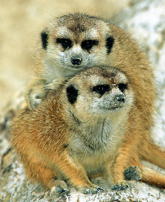 Photograph - Meerkats by Millard H. Sharp
