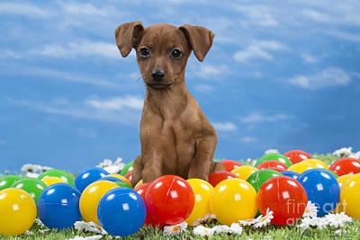 Photograph - Miniature Pinscher Puppy by Jean-Michel Labat