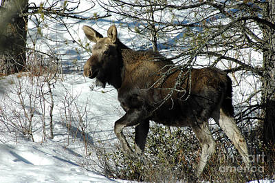 Photograph - 757p Moose by NightVisions
