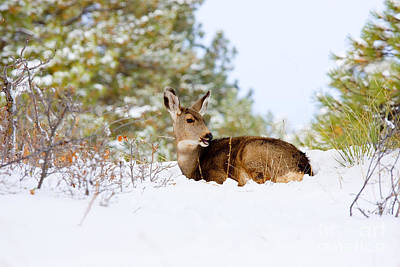 Steven Krull Royalty-Free and Rights-Managed Images - Mule Deer in Snow by Steven Krull