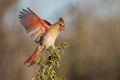 Wild Wings Photograph - Northern Cardinal (cardinalis Cardinalis by Larry Ditto