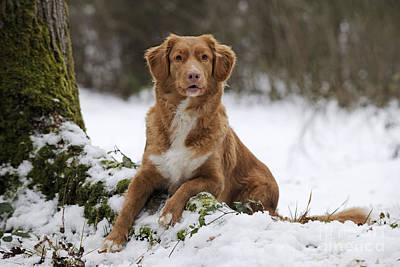 Dog In Snow Photograph - Nova Scotia Duck Tolling Retriever by John Daniels