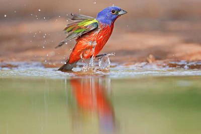 Starr Photograph - Painted Bunting (passerina Ciris by Larry Ditto