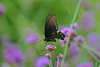 Katharine Hepburn - Pipevine Swallowtail Butterfly by Karen Adams