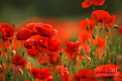 Flora Photograph - Poppy Dream by Nailia Schwarz