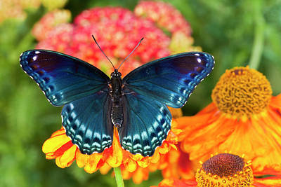 Sneezeweed Photograph - Red-spotted Purple Butterfly, Limenitis by Darrell Gulin
