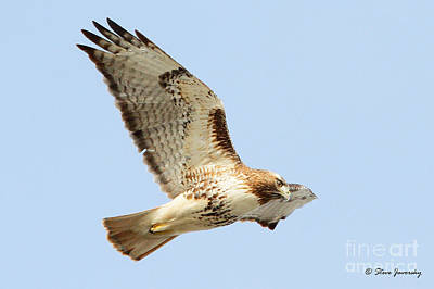 Photograph - Red Tail Hawk by Steve Javorsky