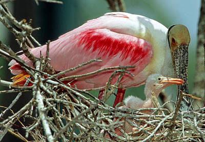 Photograph - Roseate Spoonbill With Young by Millard H. Sharp