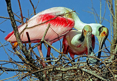Photograph - Roseate Spoonbills by Millard H. Sharp