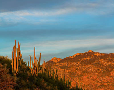 Saguaro Cactus Carnegiea Gigantea Print by Panoramic Images