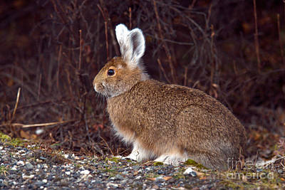 Us Fauna Photograph - Snowshoe Hare In Fall Coat by Mark Newman