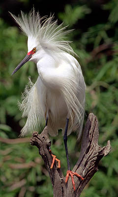 Photograph - Snowy Egret by Millard H. Sharp