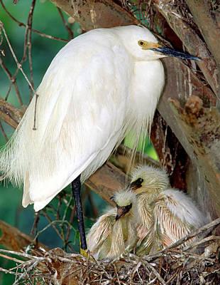 Photograph - Snowy Egrets by Millard H. Sharp