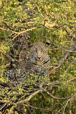 Hiding Photograph - South Africa, Sabi Sabi Private Game by Jaynes Gallery