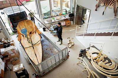 Carcass Photograph - Sperm Whale Skeleton Preparation by Thomas Fredberg