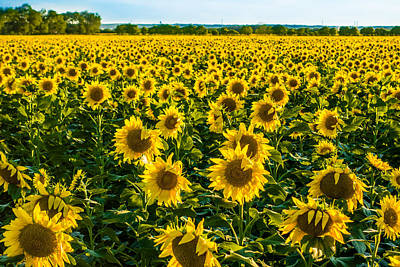 Photograph - The Sunflower Farm by Melinda Ledsome