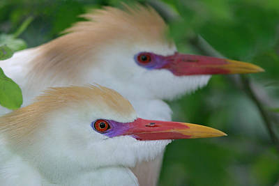 Cattle Egret Photograph - Usa, Florida, St by Jaynes Gallery