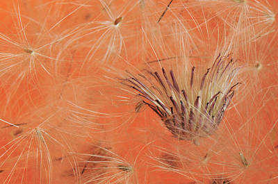 Salsify Wall Art - Photograph - Usa, Oregon, Portland by Jaynes Gallery