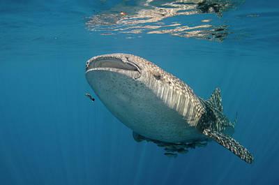 Whale Shark, Cenderawasih Bay, West Art Print
