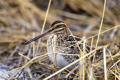 Photograph - Wilsons Snipe by Doug Lloyd