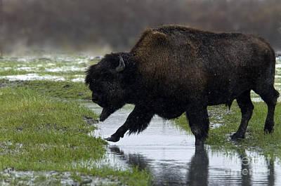 Wood Buffalo Photograph - Wood Bison by Mark Newman