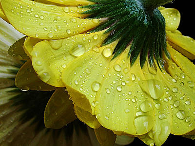 Art Print featuring the photograph Yellow Gerber by Elvira Ladocki