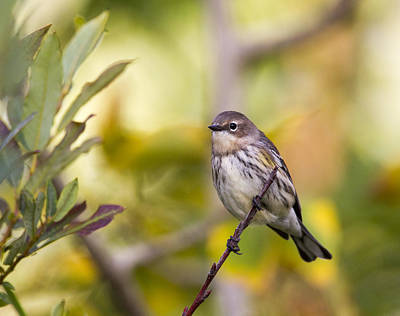 Photograph - Yellowrumped Warbler by Doug Lloyd