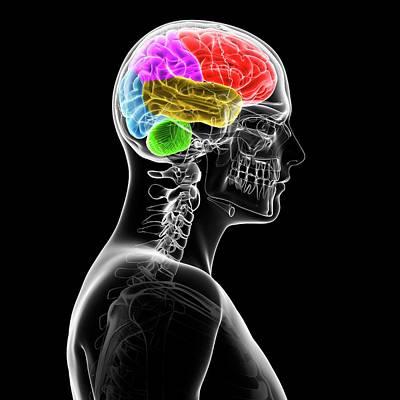 Bright Colours Photograph - Human Brain by Sebastian Kaulitzki