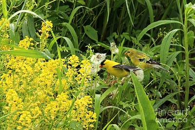 Photograph - American Goldfinch by Jack R Brock