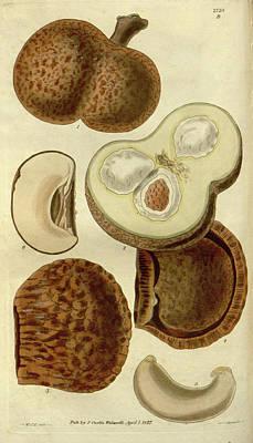 Botanical Print By Sir William Jackson Hooker Art Print