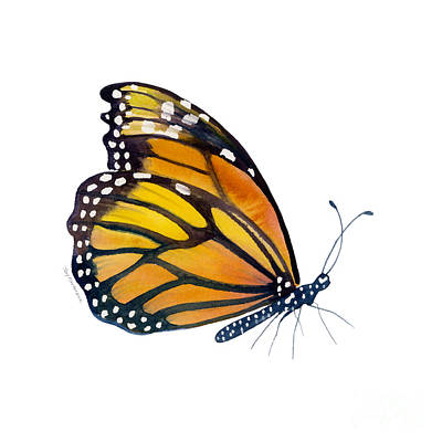 On-white Painting - 103 Perched Monarch Butterfly by Amy Kirkpatrick