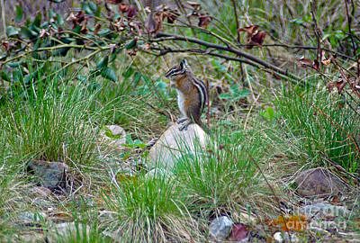 Photograph - 105p Western Chipmunk by NightVisions
