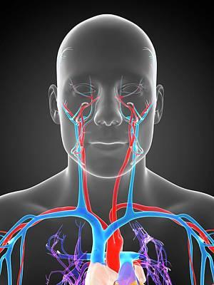 Human Head Photograph - Human Vascular System by Sebastian Kaulitzki
