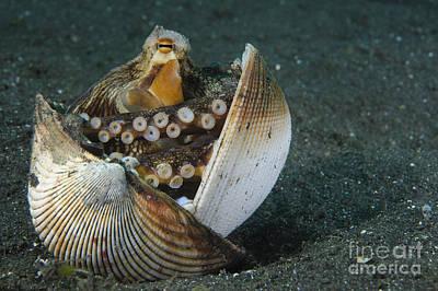 A Coconut Octopus, Lembeh Strait Art Print