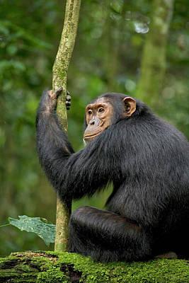 Anticipate Photograph - Africa, Uganda, Kibale National Park by Kristin Mosher