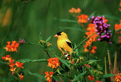 Goldfinch Wall Art - Photograph - American Goldfinch (carduelis Tristis by Richard and Susan Day