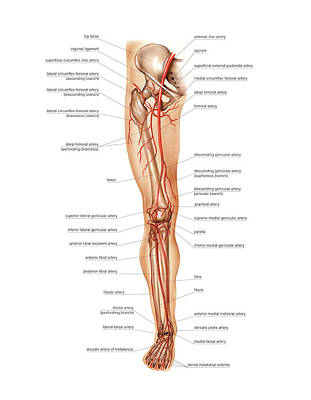 Arteries Photograph - Arterial System Of The Leg by Asklepios Medical Atlas